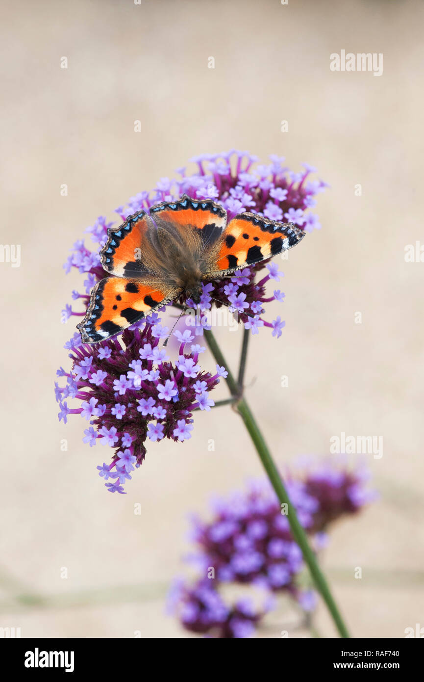 Aglais urticae. Small tortoiseshell butterfly on Verbena bonariensis flowers in an english garden. UK - Stock Image