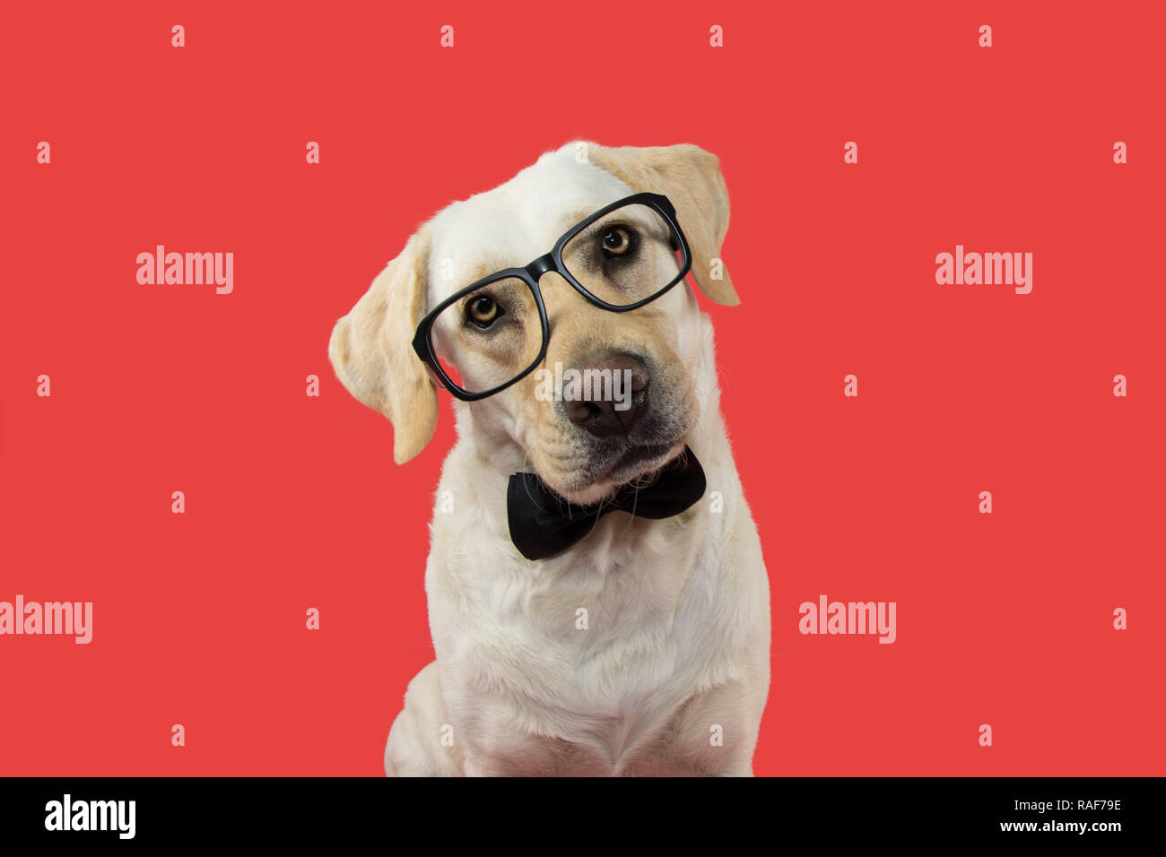 ELEGANT AND CLASSY DOG WITH GLASSES AND BLACK TIE. TILTING HEAD. ISOLATED AGAINST CORAL TREND BACKGROUND. - Stock Image