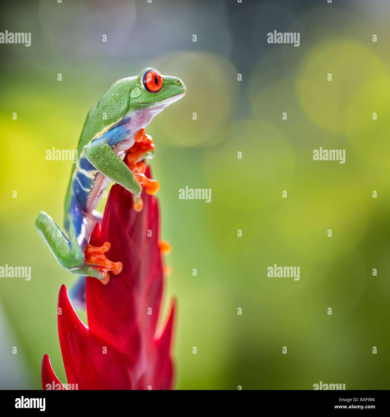 red eyed tree frog climbing in tropical rain forest of central America. This tree frog and nocturnal animal lives in the rainforest of Costa Rica and  - Stock Image