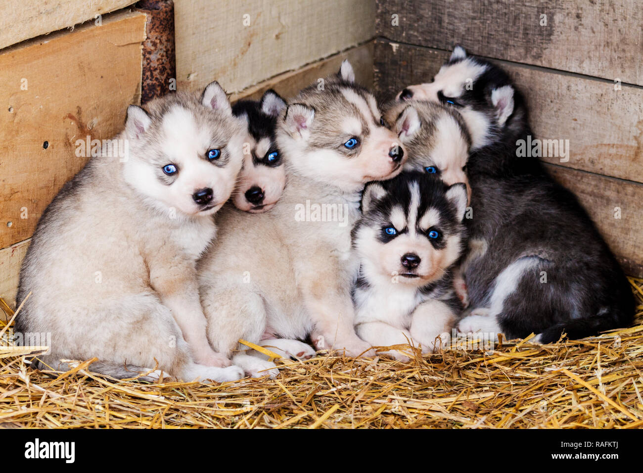 Husky Puppies With Blue Eyes In The Mother S Nest Pets Stock Photo Alamy