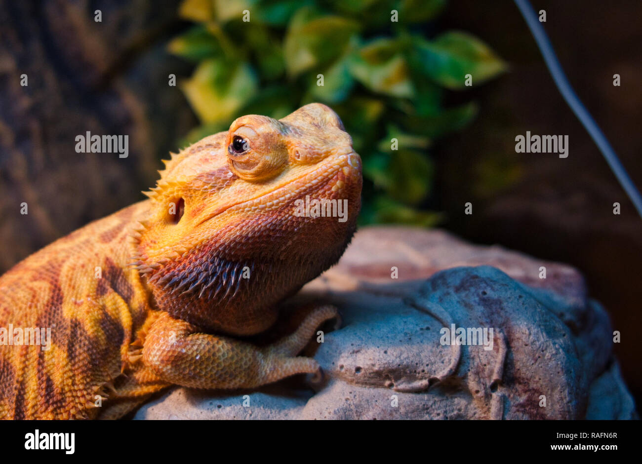 Bearded dragon perched on a rock - Stock Image