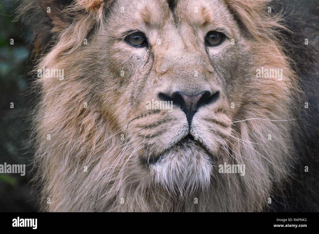 Lion Portrait (male lion) Stock Photo