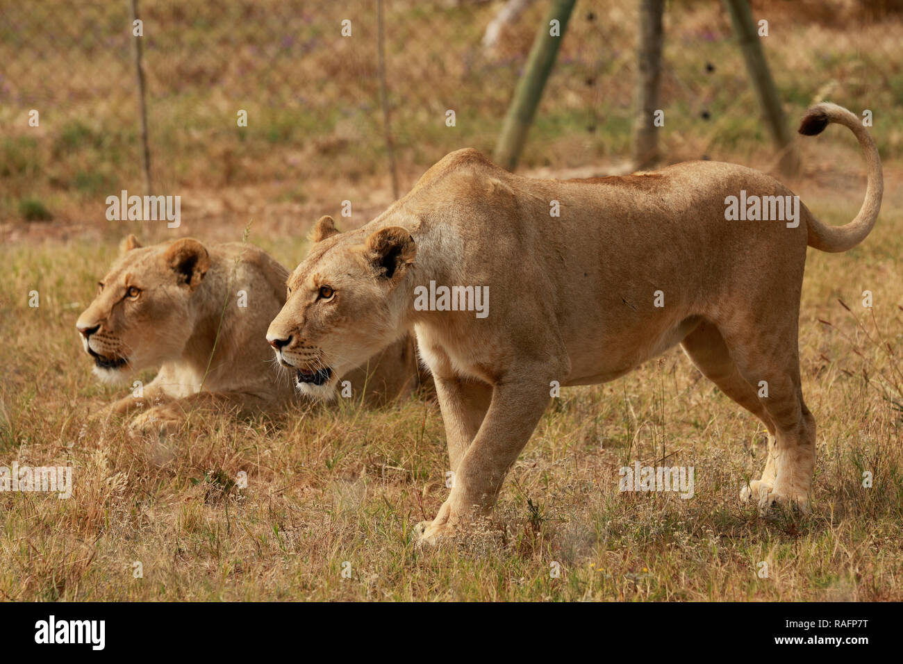 Lionesses (Panthera leo) waiting to be fed at the Drakenstein Lion Park, Klapmuts, Cape Winelands, South Africa. - Stock Image