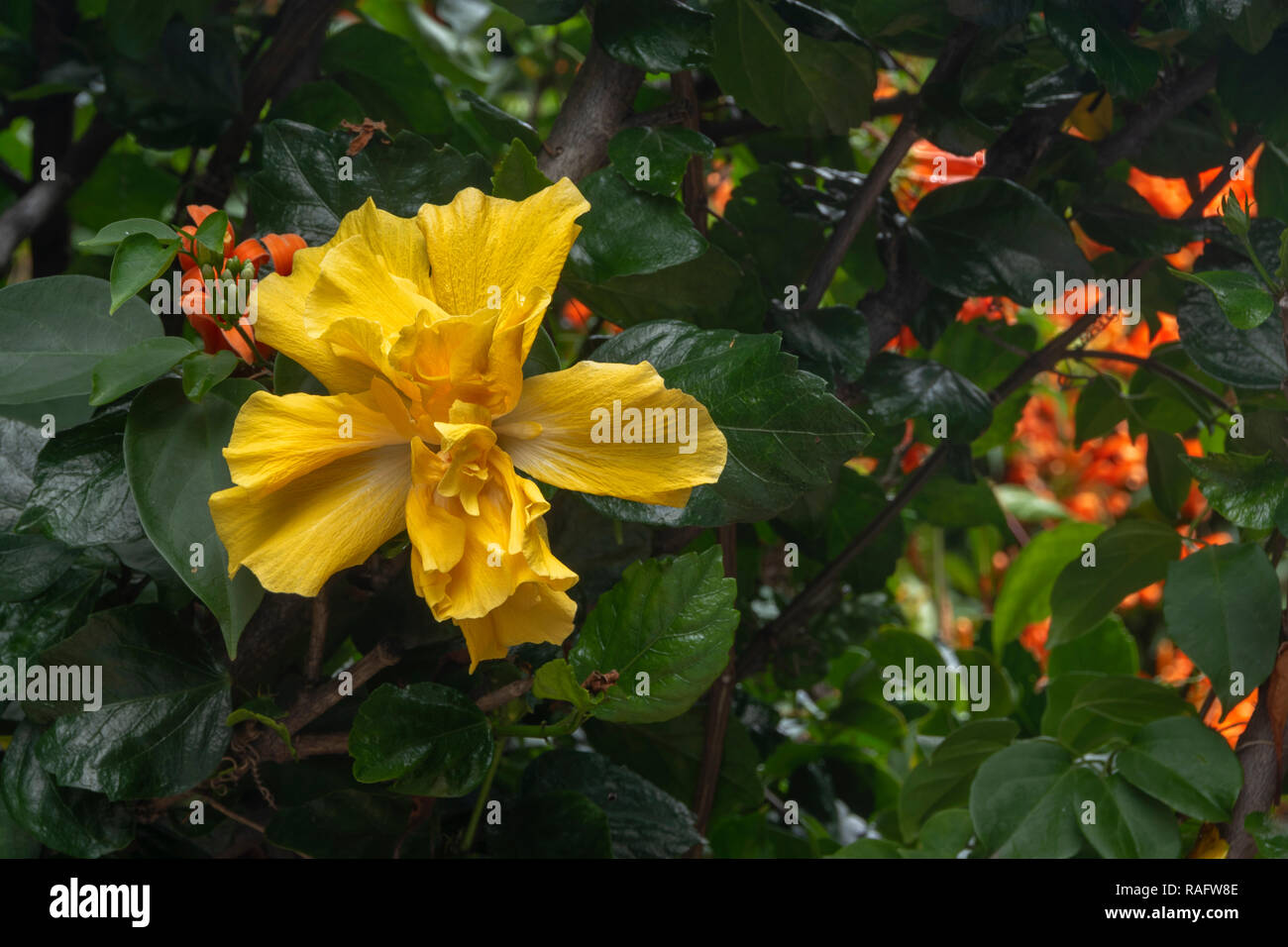 Yellow Double Hibiscus Flower With Green Leaves And Orange Trumpet