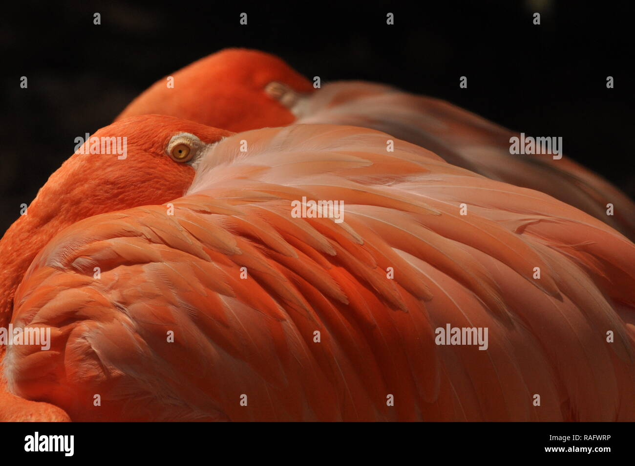 Two coral flamingos - Stock Image