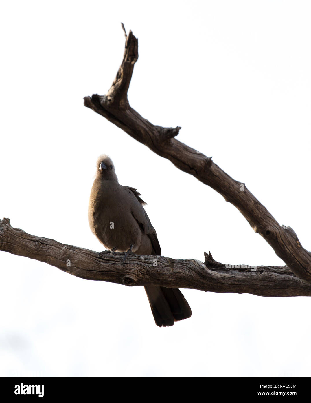 go away bird on a bush in Namibia - Stock Image