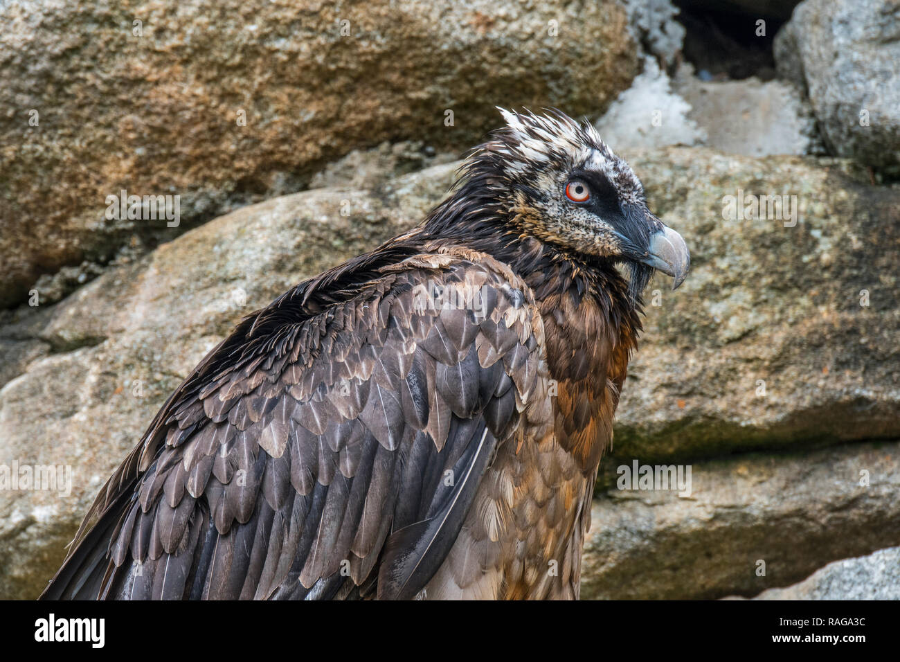 Bearded vulture / Lämmergeier (Gypaetus barbatus) perched in rock face - Stock Image