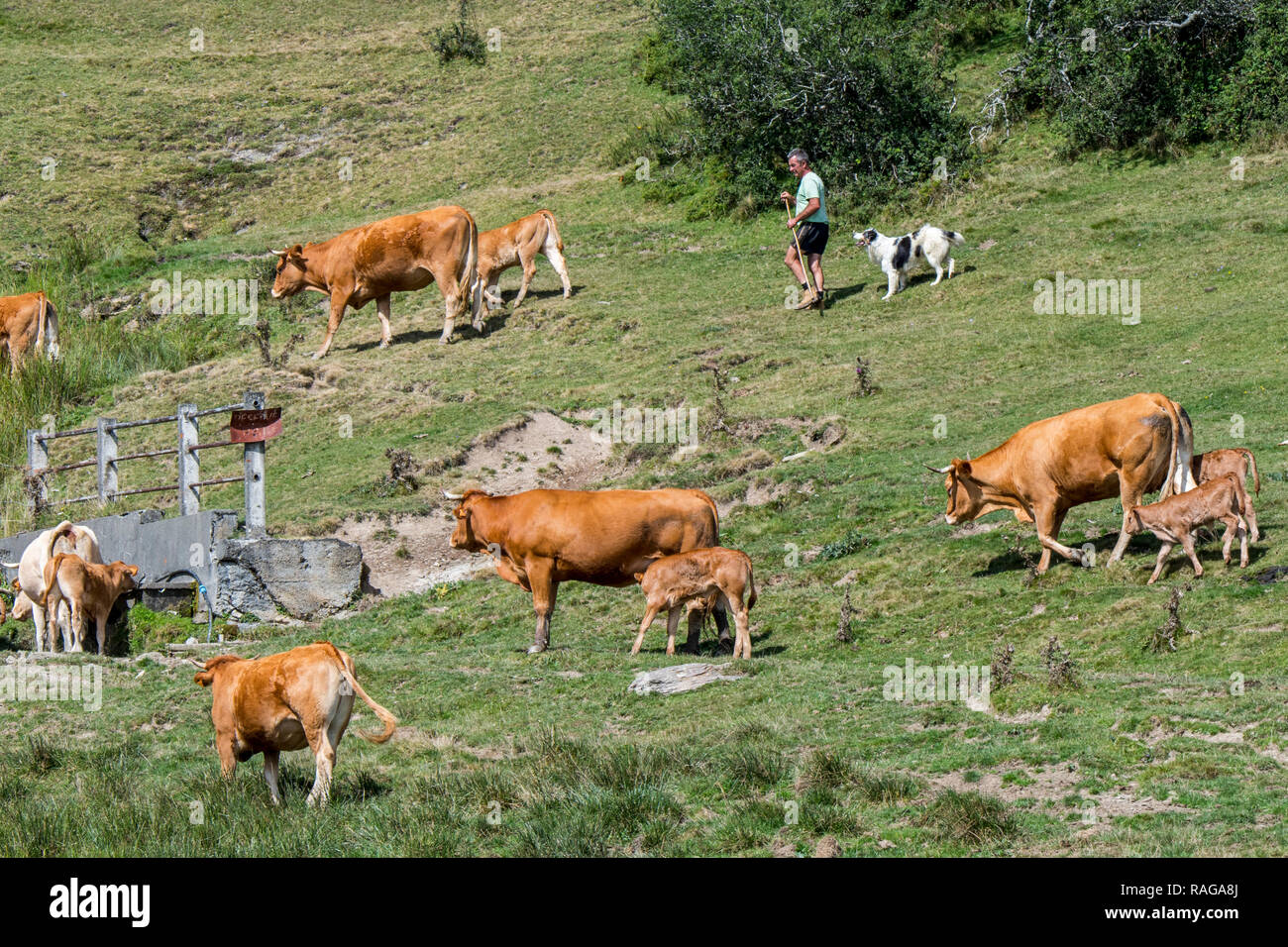 Cattleman / cowman / herdsman with dog herding Limousin cattle herd in Alpine pasture in the French Pyrenees, France - Stock Image