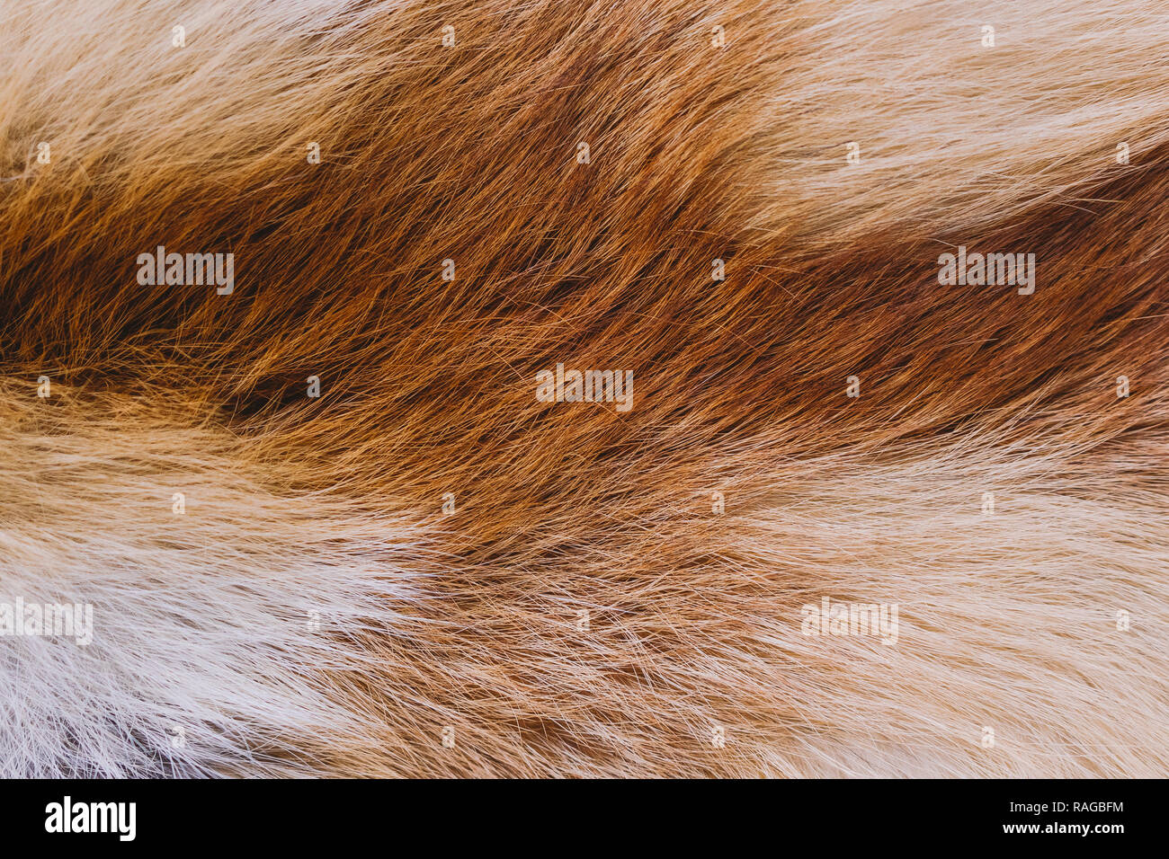 Closeup top view of fluffy texture of colorful real fox animal fur. Natural furry background. Horizontal color photography. - Stock Image