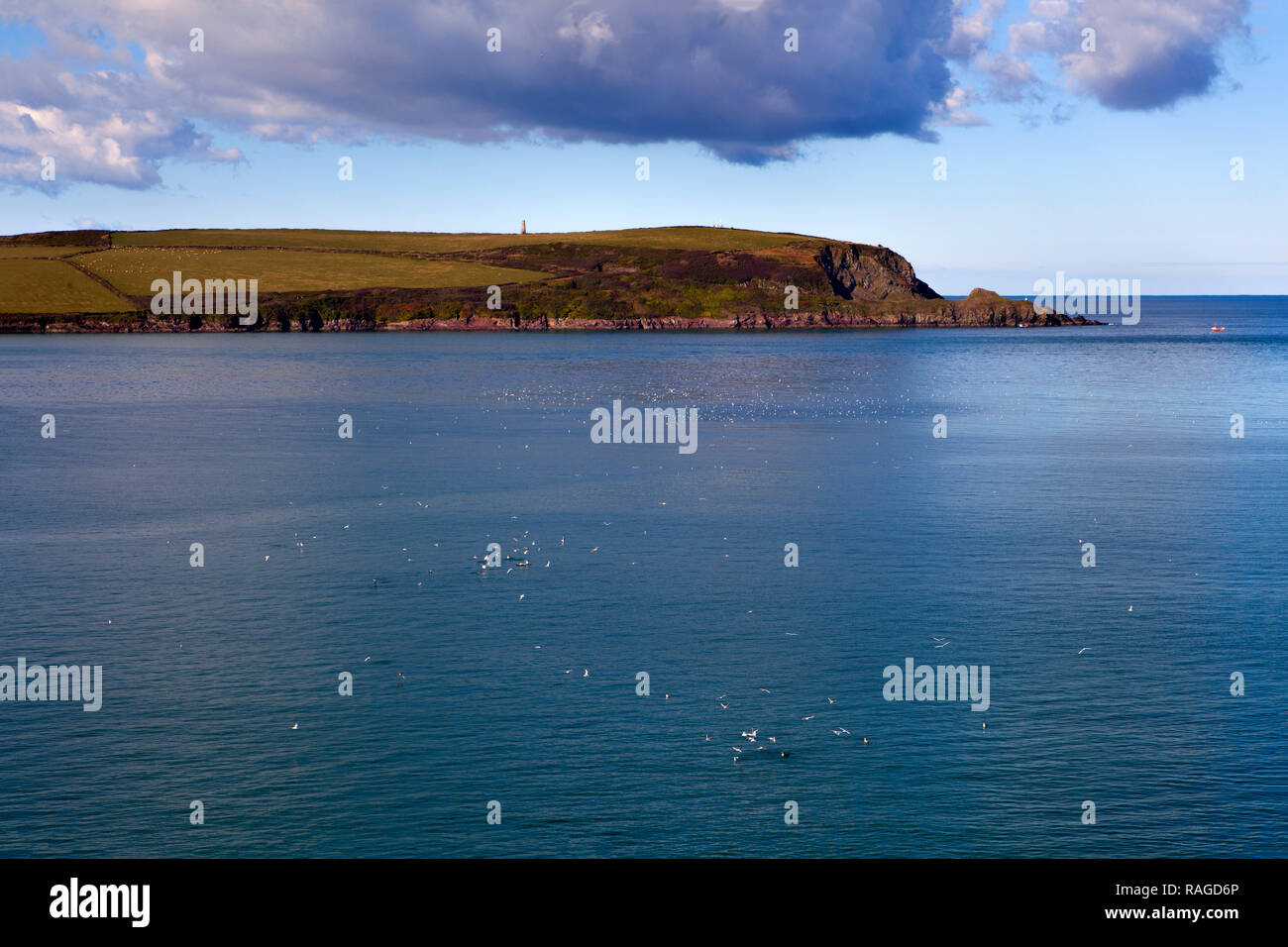 Seabirds working at the surface at the mouth of the Camel estuary, North Cornwall, England. - Stock Image