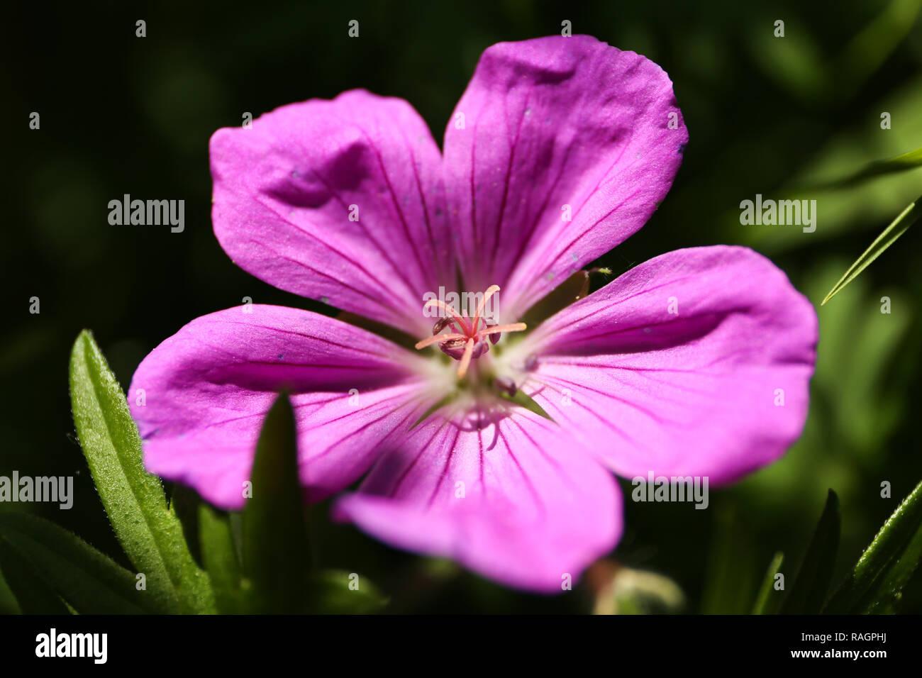 Wonderful single purple geranium blossom - Stock Image