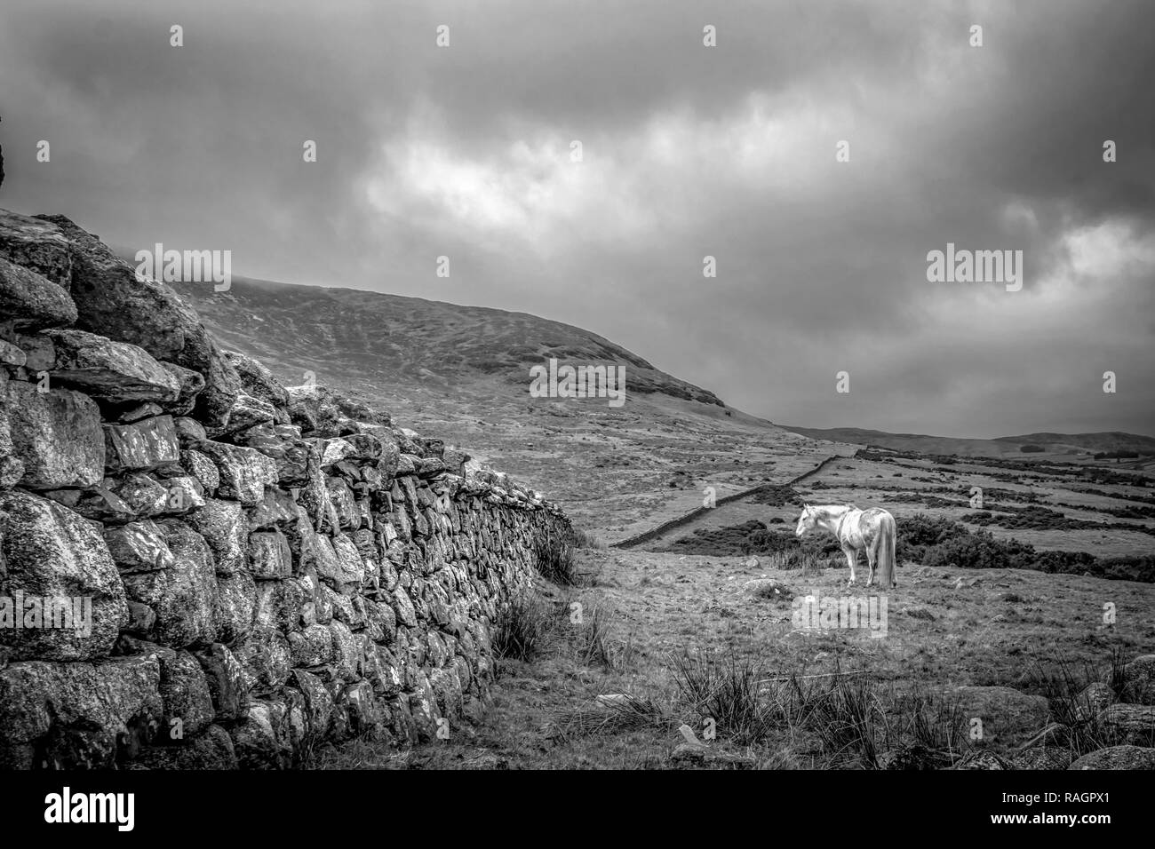 This is a picture of a stone wall in the Mourne Mountains in Ireland with a white horse standing in a field next to it - Stock Image