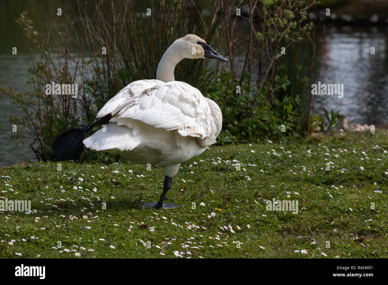 Trumpeter swan standing on one leg - Stock Image