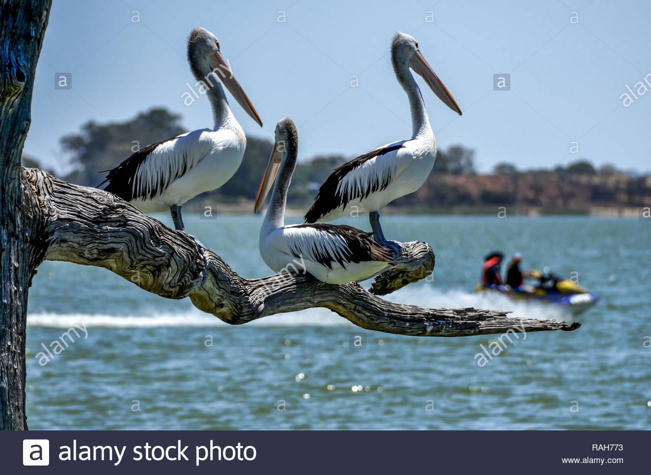Pelicans on a tree branch watching a jet ski go by on Lake Bonney, Barmera, SA - Stock Image