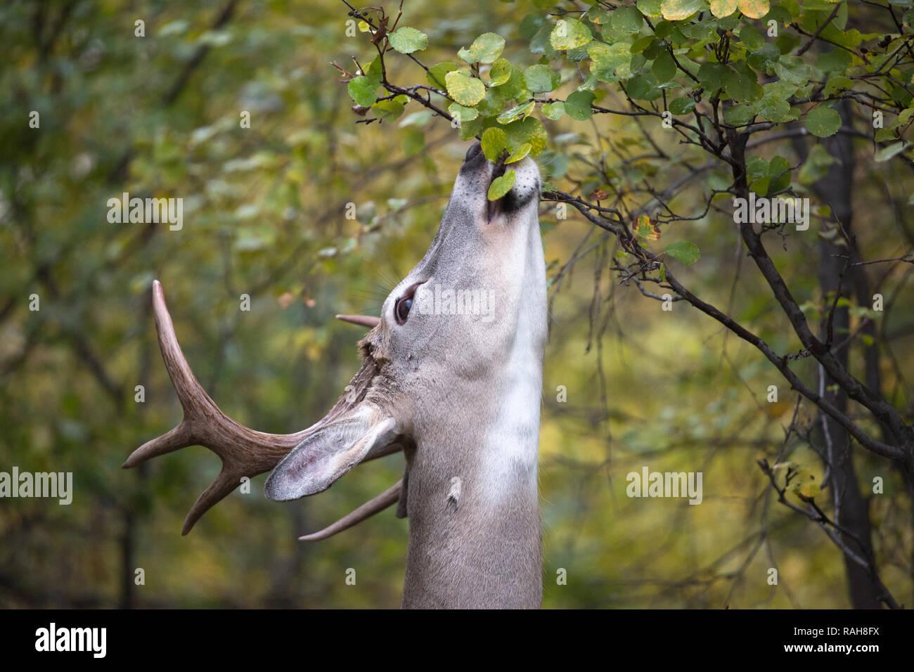 White-tailed Deer buck (Odocoileus virginianus) feeding on Saskatoon Berry shrub (Amelanchier alnifolia) Stock Photo