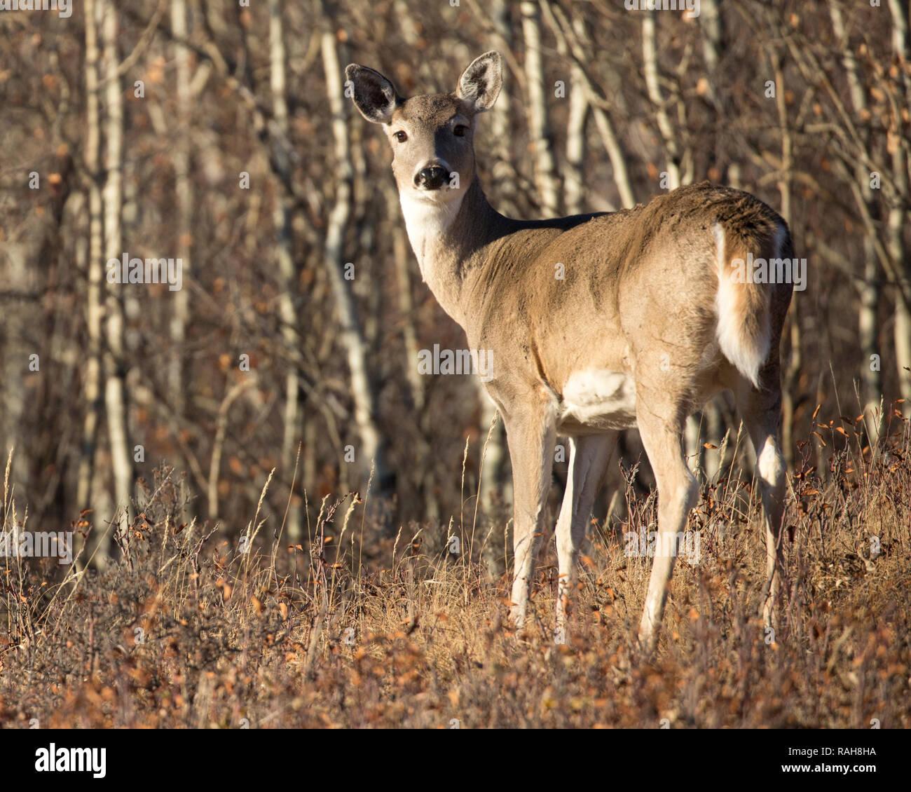 White-tailed Deer doe (Odocoileus virginianus) at the edge of aspen grove in aspen parkland Stock Photo