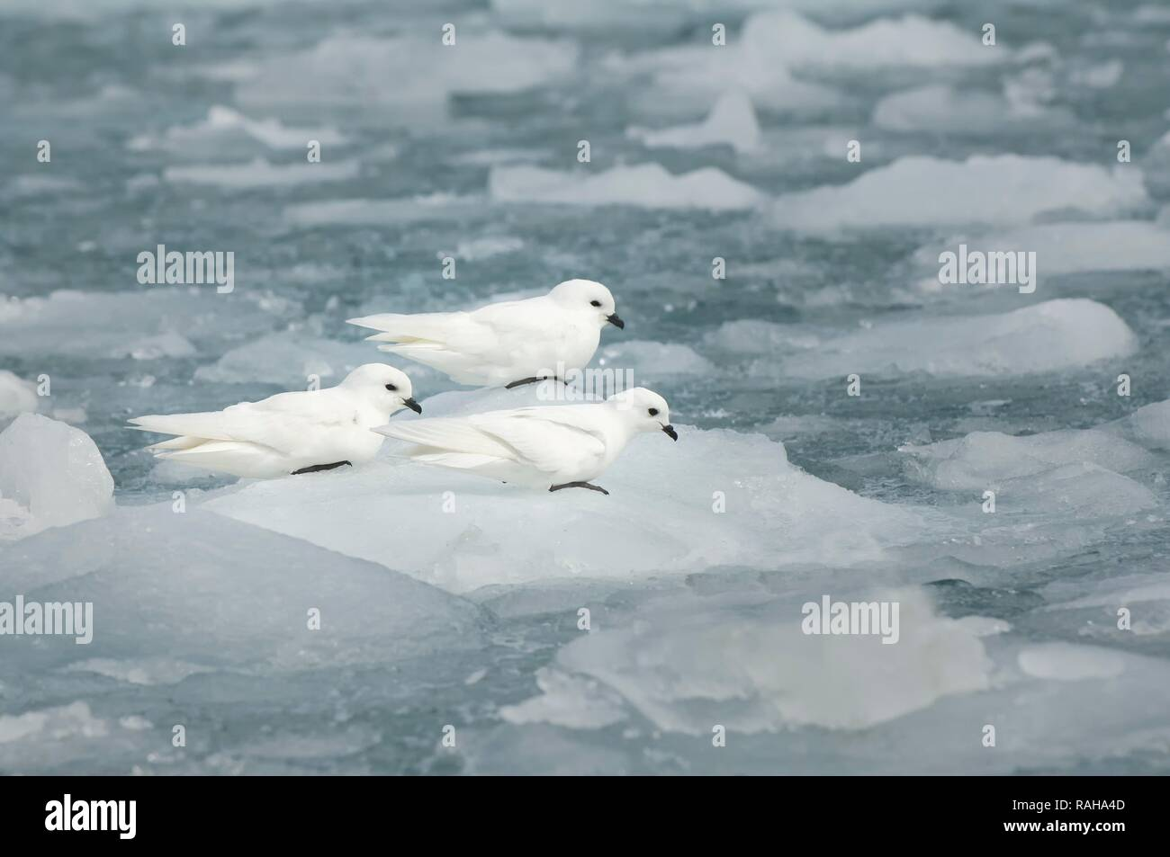 Group of Snow petrels (Pagodroma nivea) on the pack ice, Moltke Bay, South Georgia - Stock Image