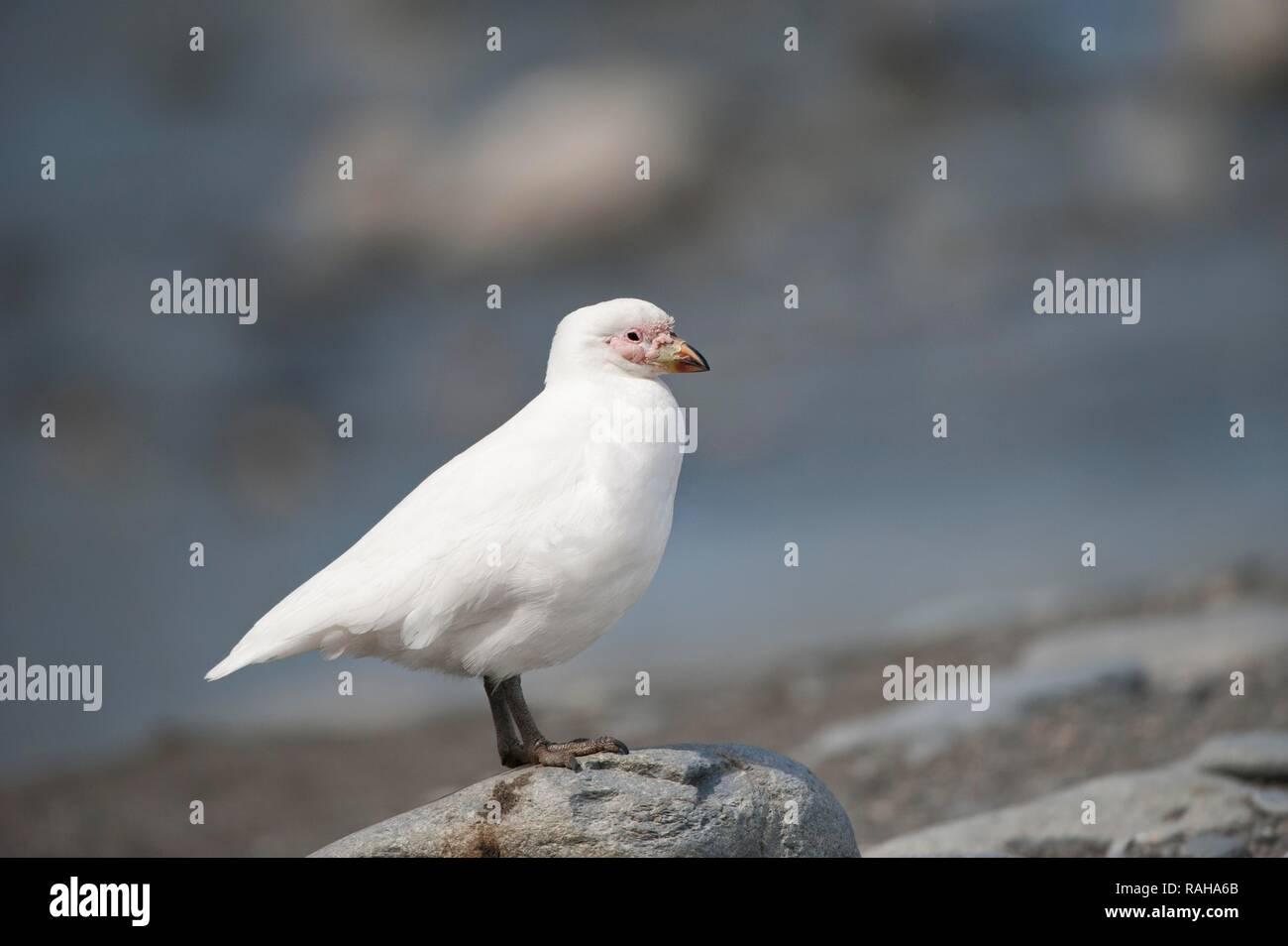 Snowy Sheathbill (Chionis albus), St. Andrews Bay, South Georgia Stock Photo