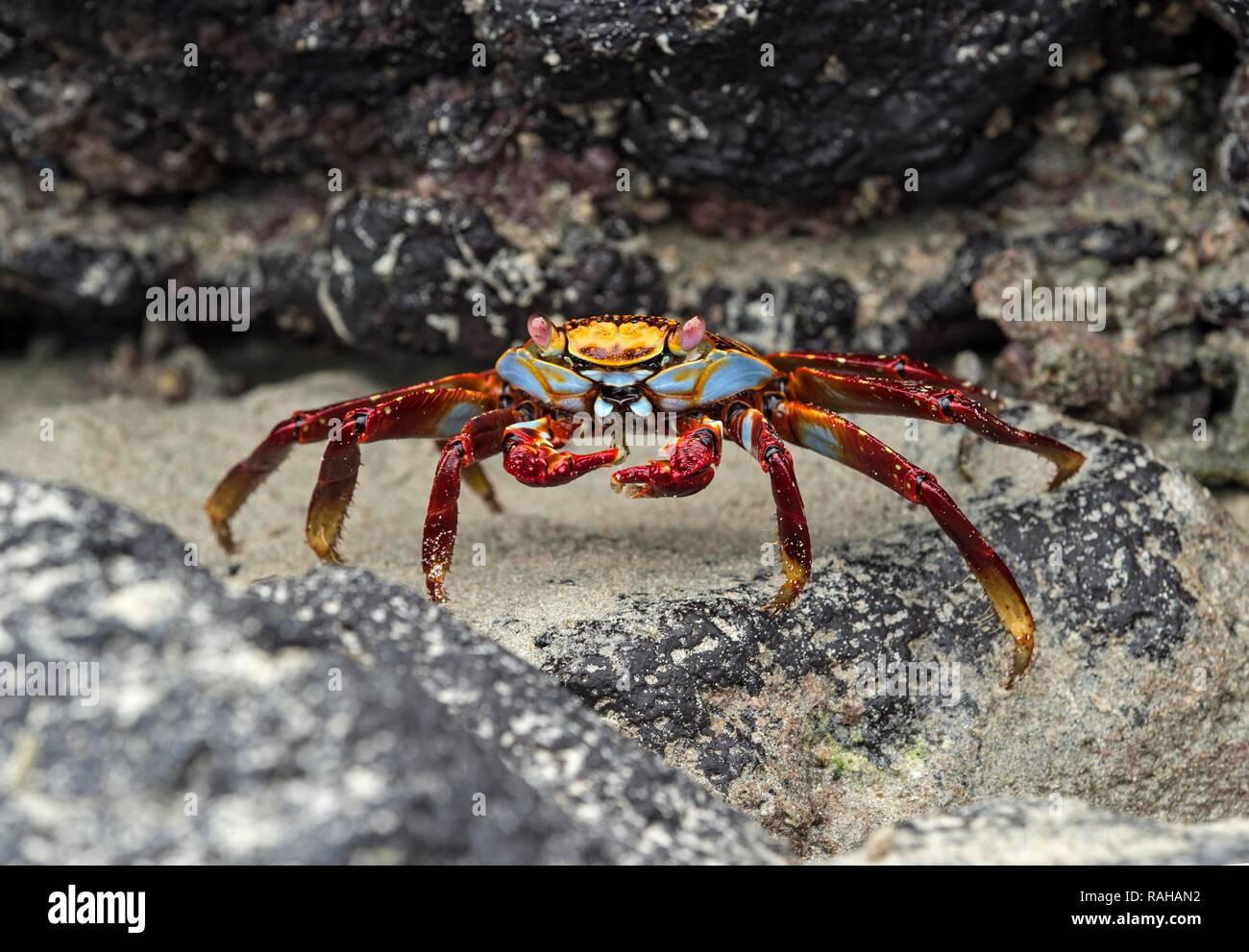 Red rock crab (Grapsus grapsus) on rock, Isabela Island, Galapagos Islands, Ecuador - Stock Image