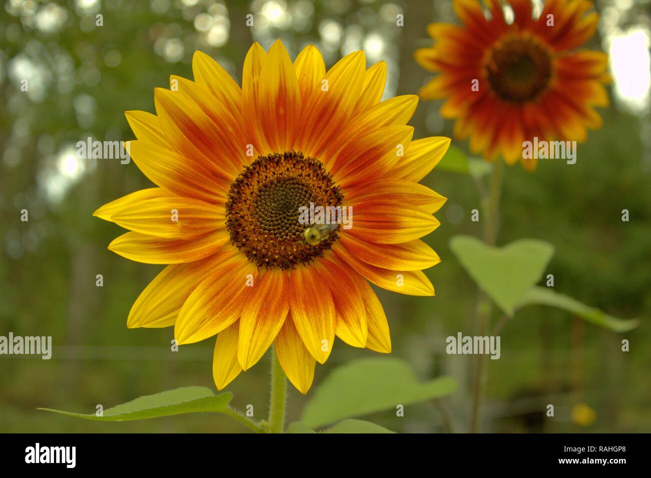 Bumblebee On A Sunflower - Stock Image