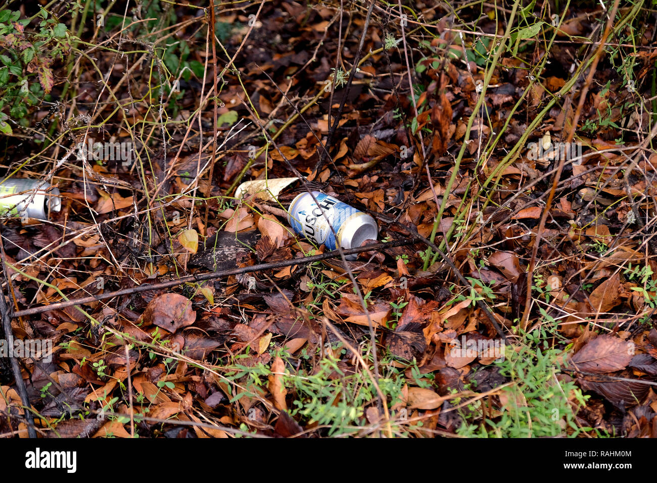 Empty beer cans thrown on the ground amid leaves in nature; aluminum pollution; trash in nature. - Stock Image