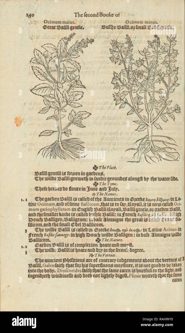 Illustrations and text on ocimum maius and ocimum minus, A nievve herball, or historie of plantes, Dodoens, Rembert reimagined - Stock Image