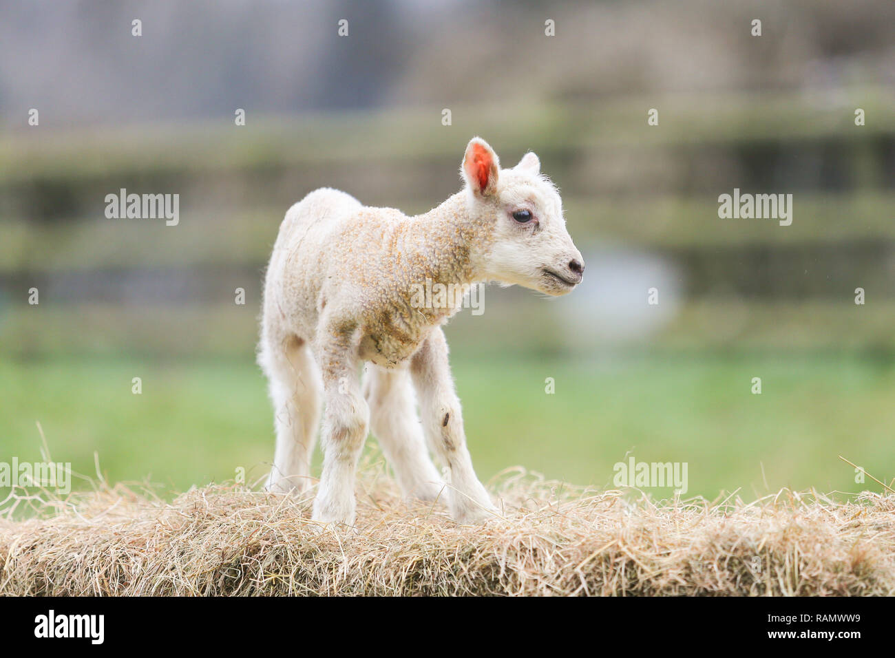Arley, Worcestershire, UK. 4th Jan, 2019. A day-old lamb on a farm near Arley, Worcestershire. Even though it is still winter and the traditional lambing season begins in April in the UK, these early lambs are the result of purposely leaving the tup, or ram, in with his ewes, producing new year lambs. Credit: Peter Lopeman/Alamy Live News Stock Photo