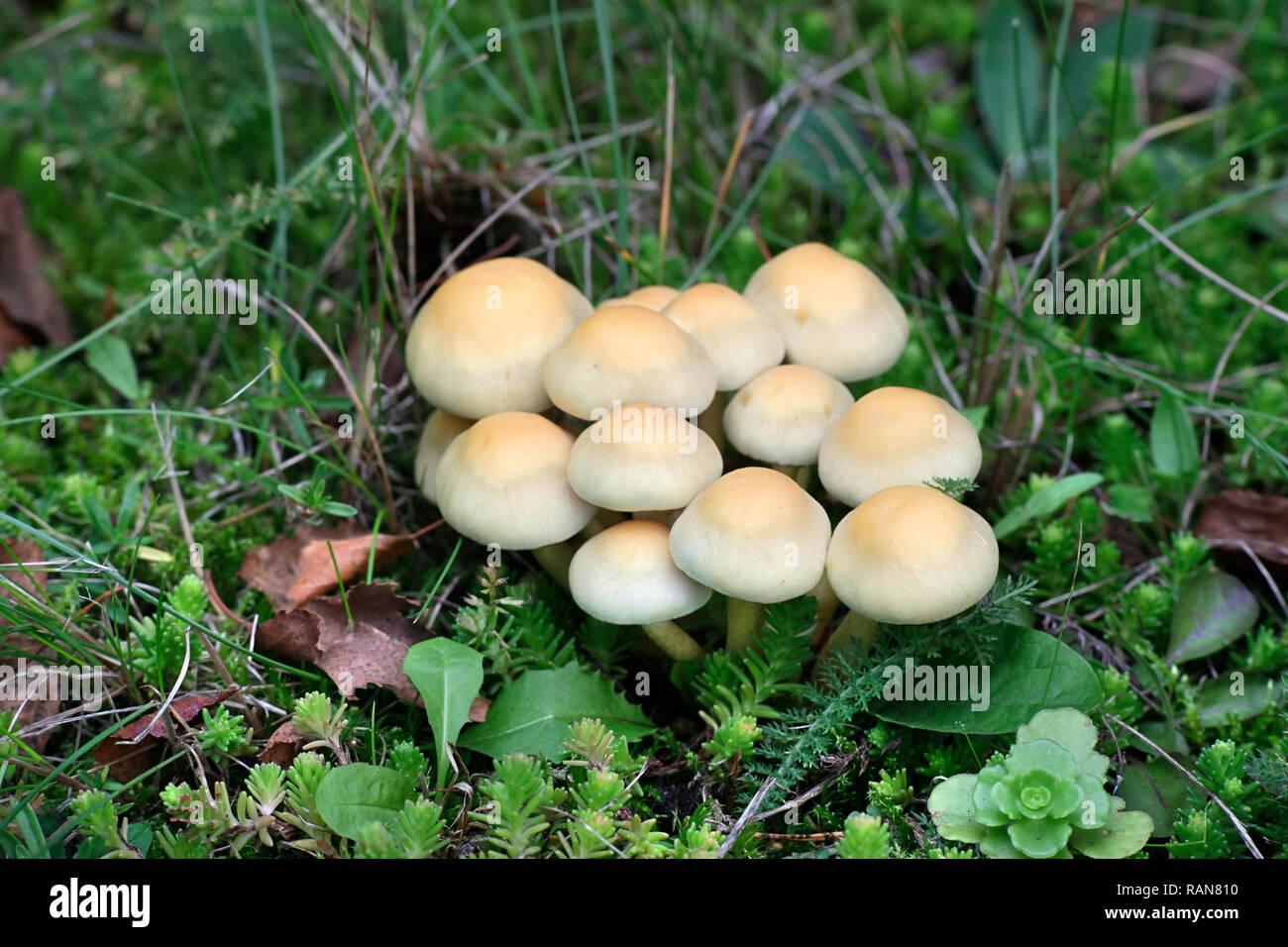 Conifer tuft mushroom, Hypholoma capnoides, an edible wild mushroom from Finland - Stock Image