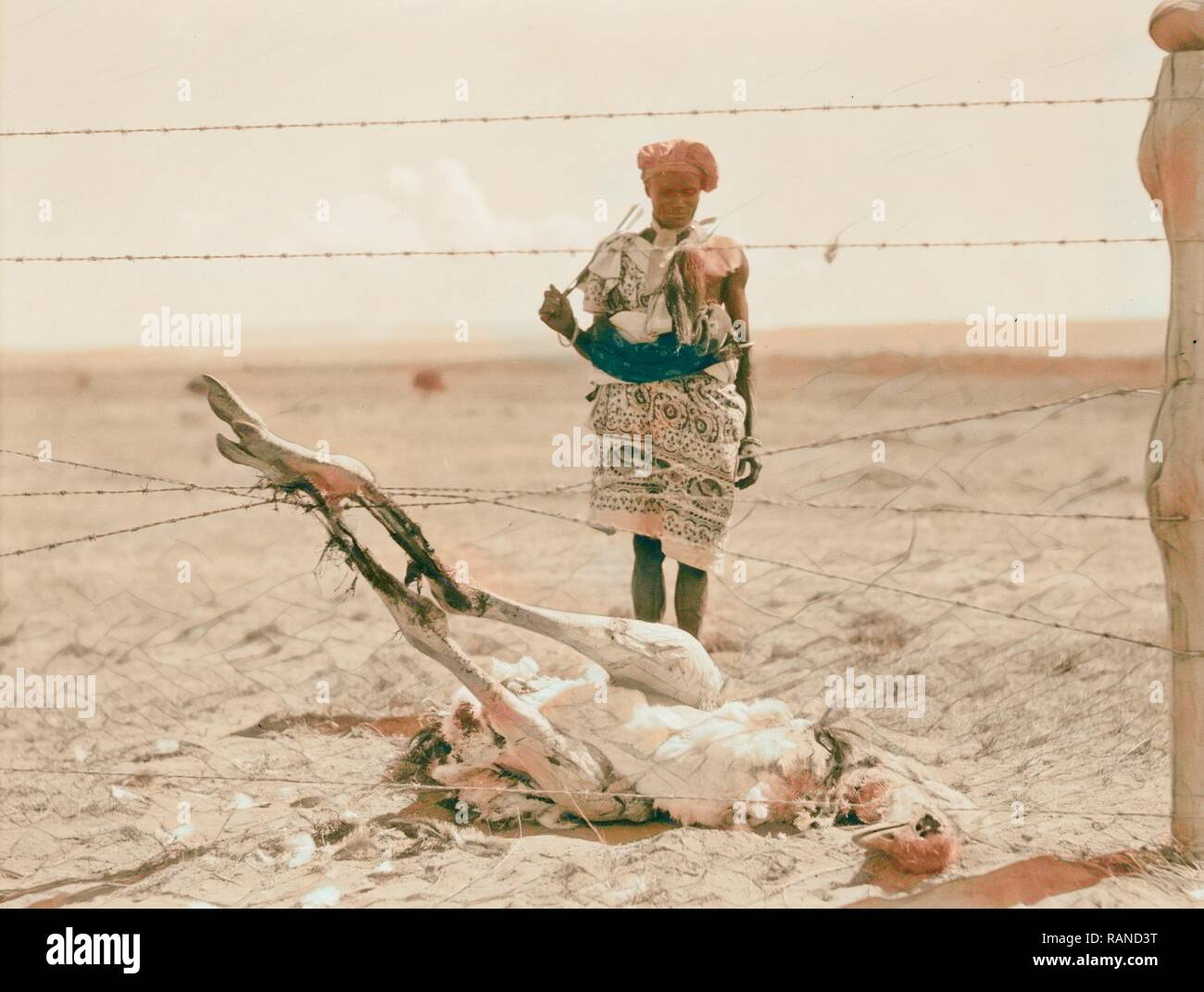 Kenya Colony. Rift Valley and en route to Nairobi. Ostrich succumbed by entanglement in barbed wire. 1936, Kenya reimagined - Stock Image
