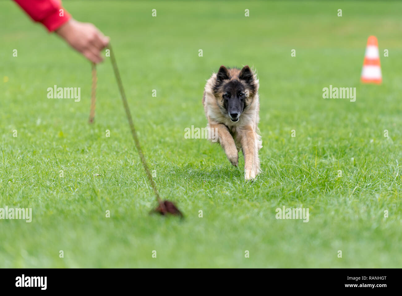 . Belgian shepherd dog is playing with his owner. Tervueren - Stock Image