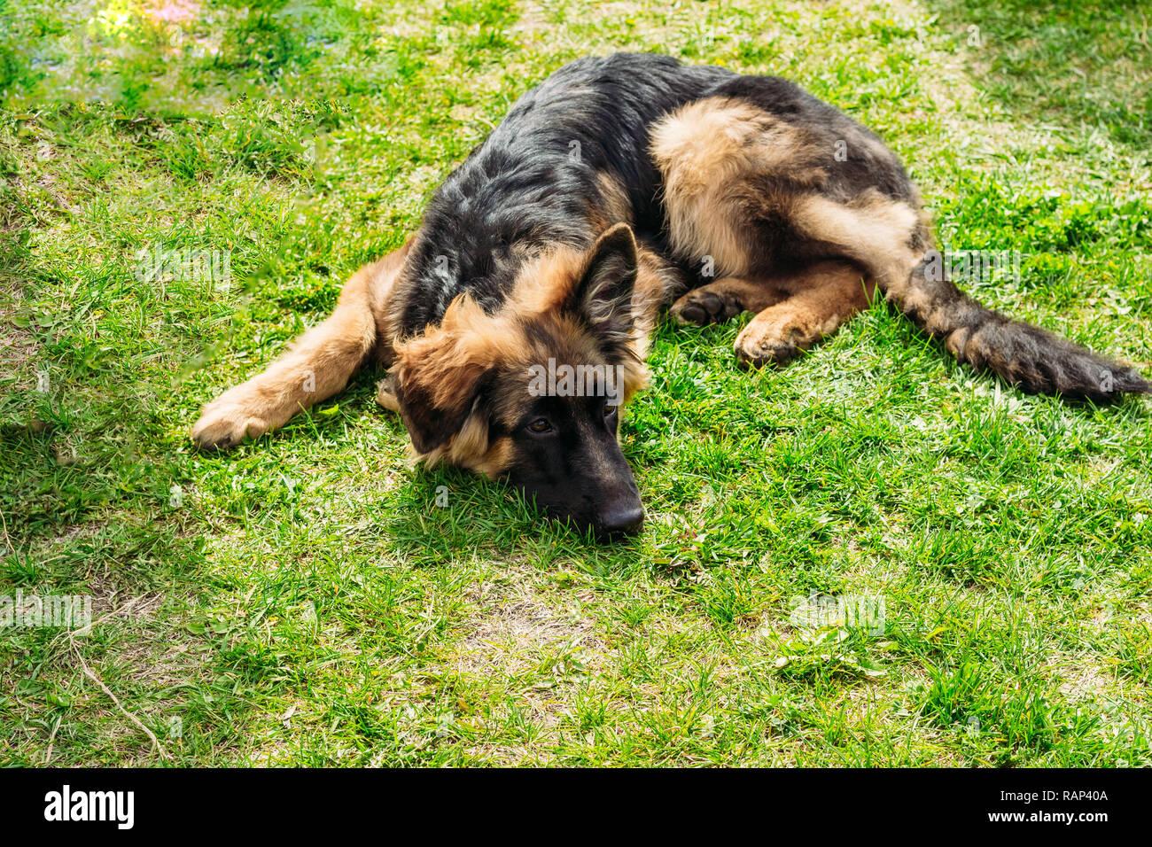 Adult German Shepherd dog resting on green grass - Stock Image