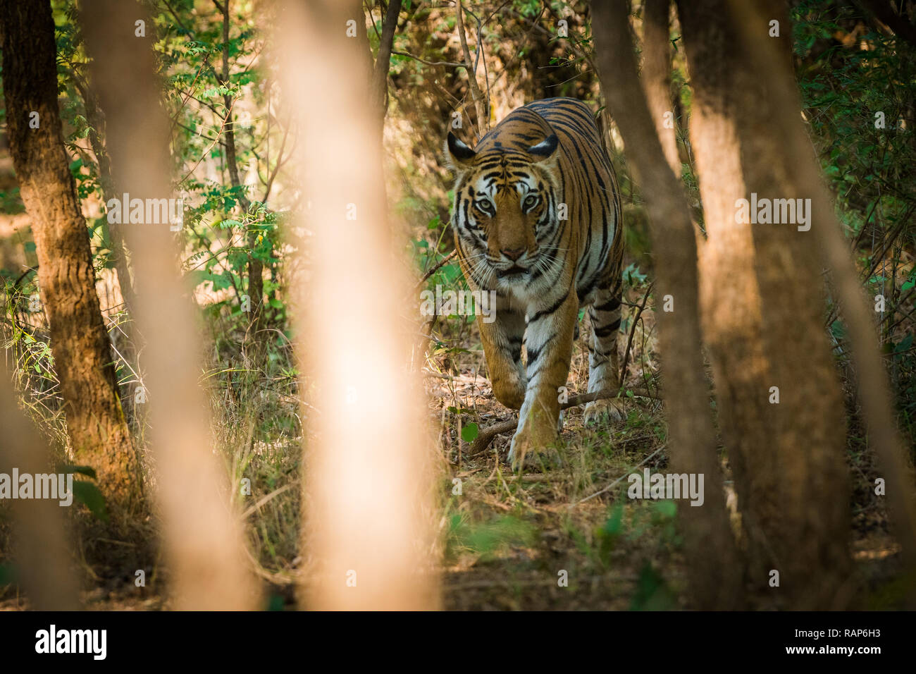 A newly mother famous tigress from Bandhavgarh National Park, India - Stock Image