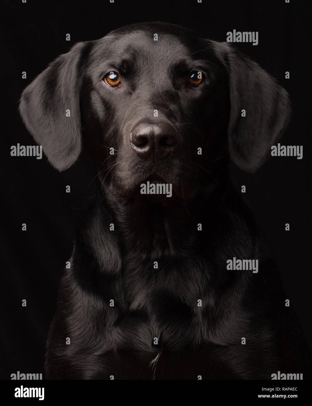 Black Labrador Dog portrait taken in a studio setting against a black background - Stock Image