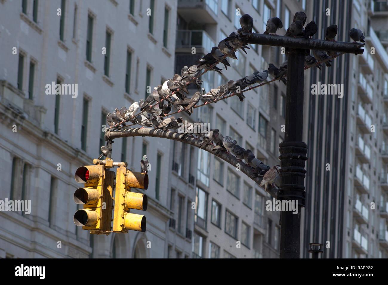 Dozens of pidgeons resrting on the traffic light in New York City - Stock Image