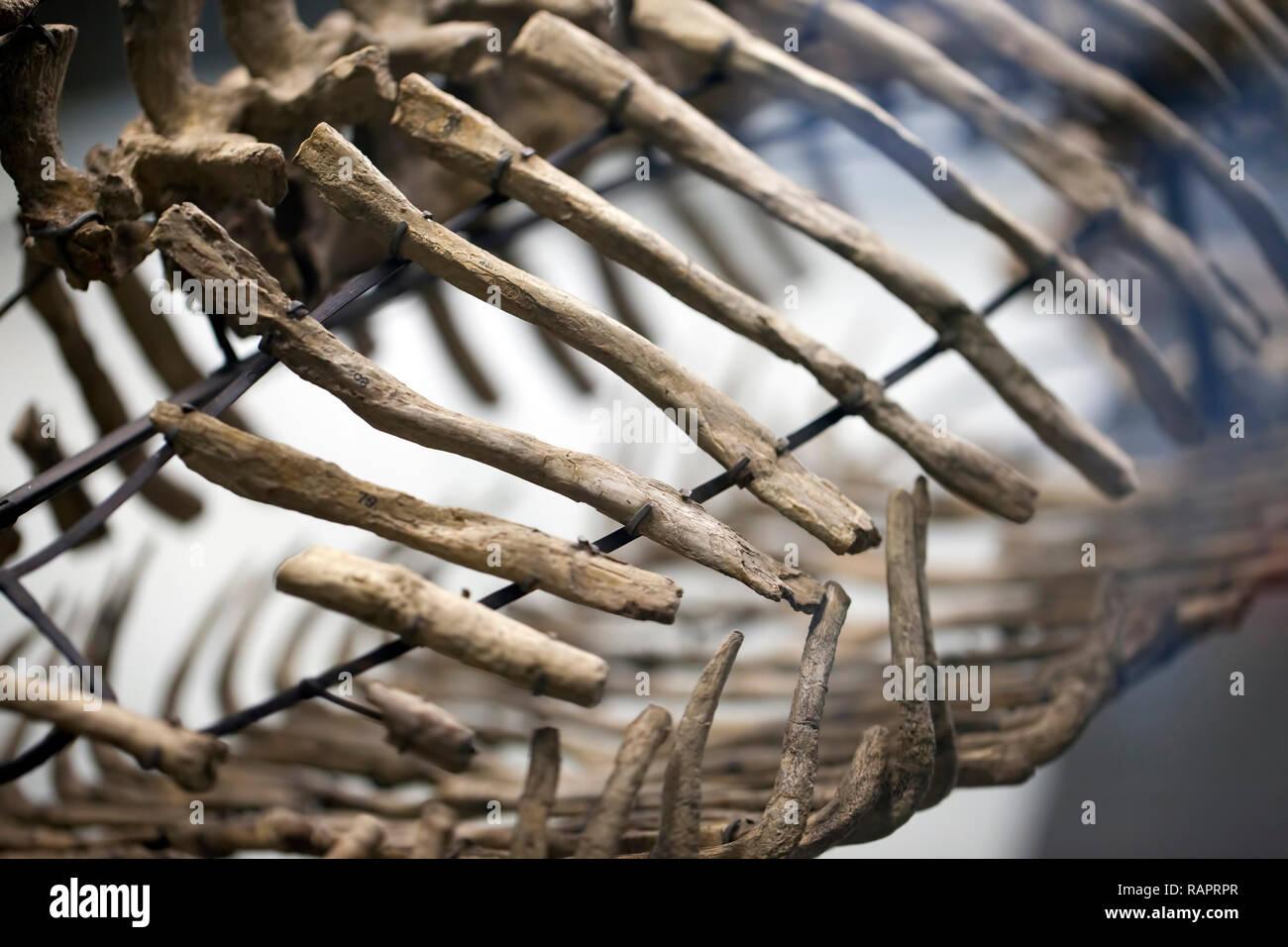 Ancient Prehistoric Dinosaur Skeleton Fossile Paleontology Science Concept - Stock Image