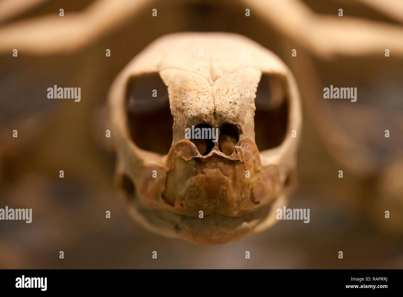 Prehistoric Ancient Animal Turtle Skeleton  Fossil Photo - Stock Image