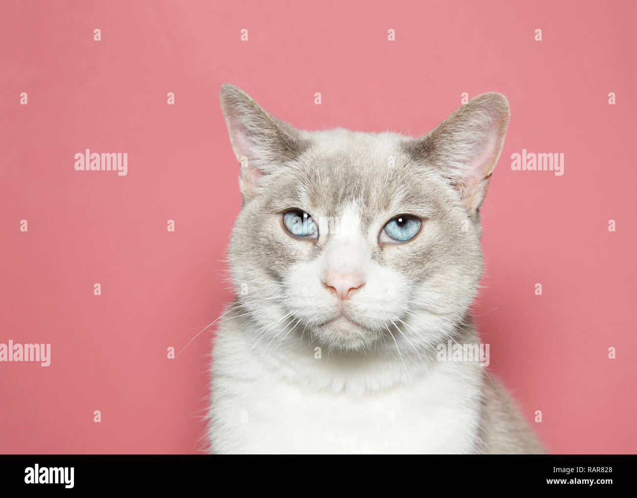 Close up portrait of a diluted siamese cat with beautiful blue eyes looking directly at viewer with skeptical expression, Coral pink background with c - Stock Image