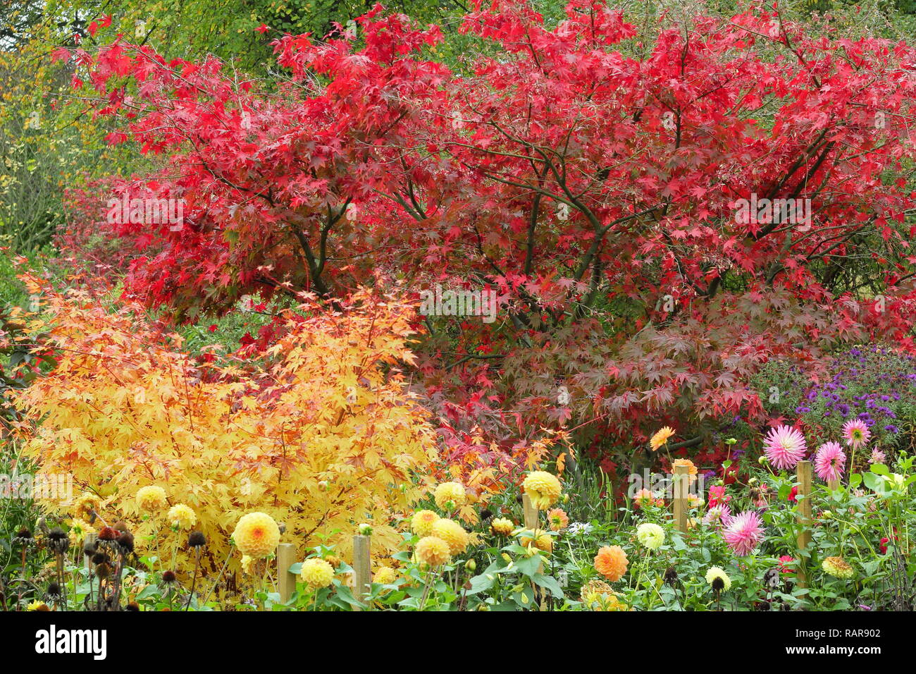 Vibrant Autumn Foliage Of Acers In An English Garden Pictured Red