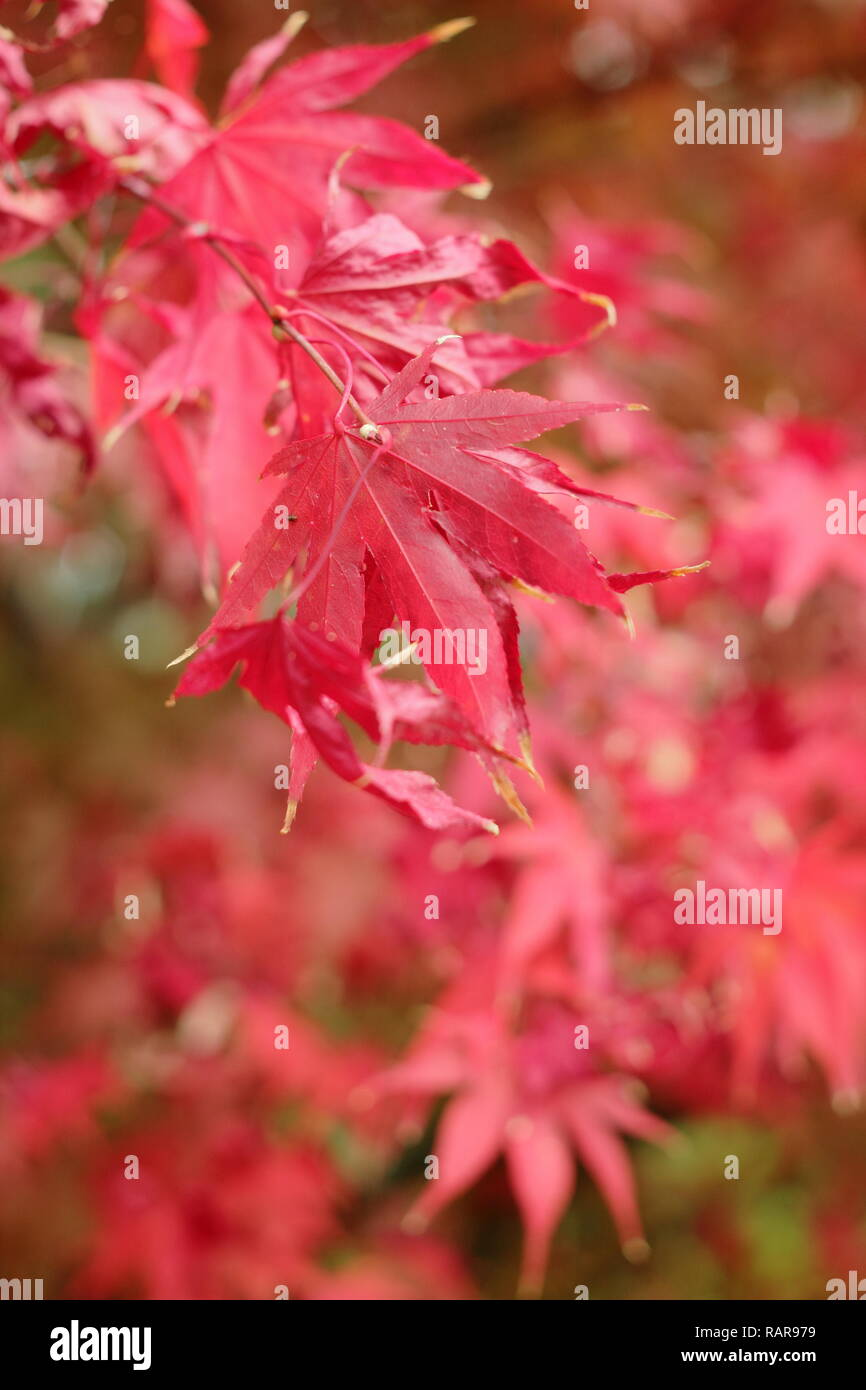 Acer Palmatum Osakazuki Vibrant Autumn Foliage Of Japanese Maple