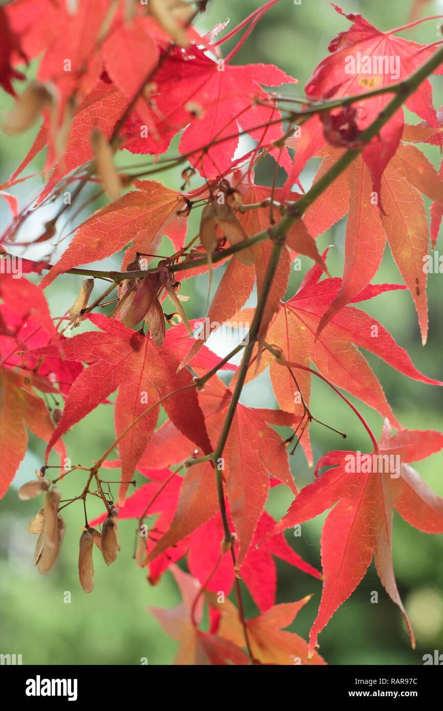Acer Palmatum Osakazuki Vibrant Autumn Foliage Of Japanese Maple