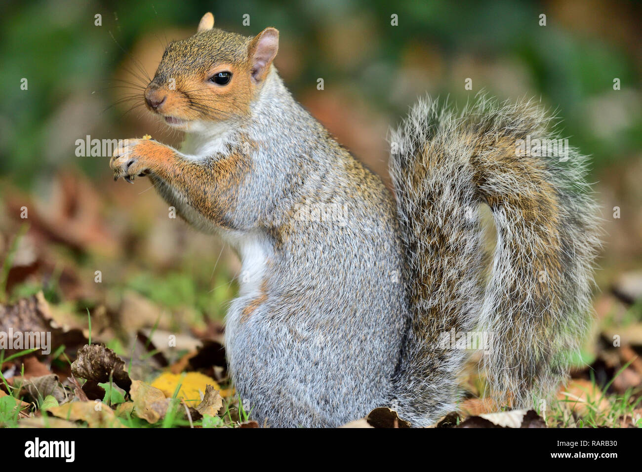 Side view of an eastern grey squirrel (sciurus caroinensis) eating a nut - Stock Image