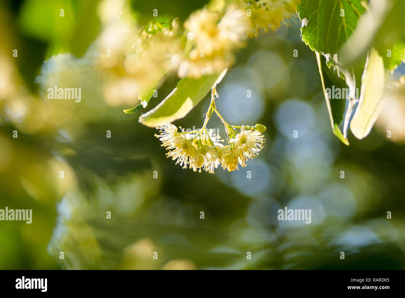 Linden flower among green leaves - Stock Image