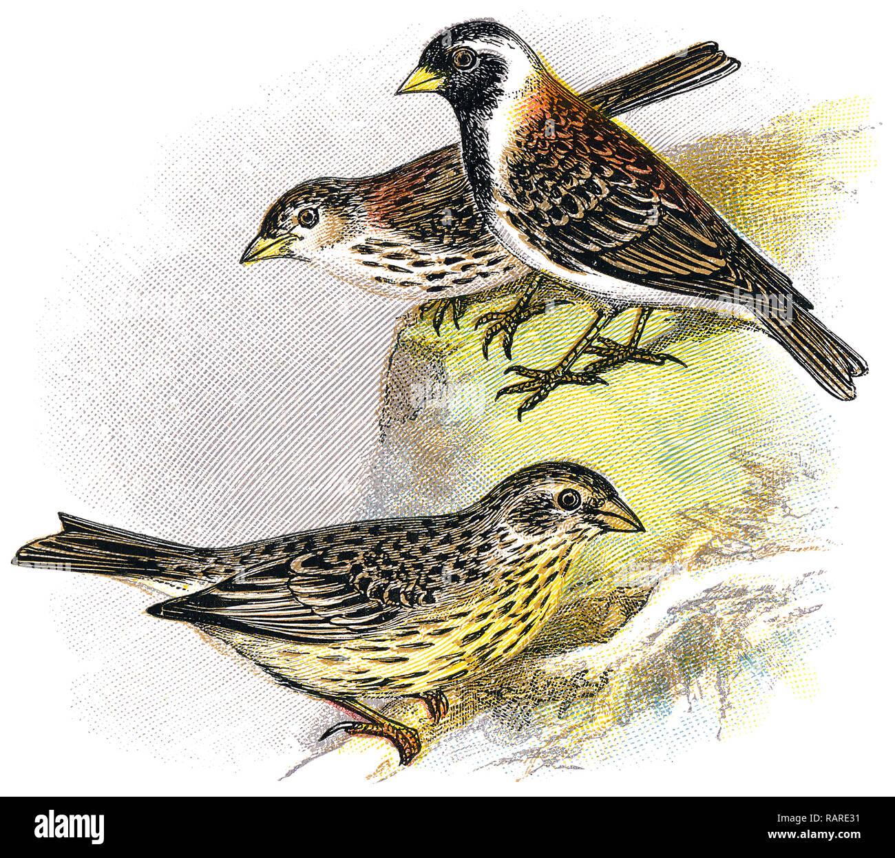 1898 colour engraving of a corn bunting (Emberiza calandra) at the bottom, and a Lapland bunting or Lapland longspur (Calcarius lapponicus) at the top. - Stock Image
