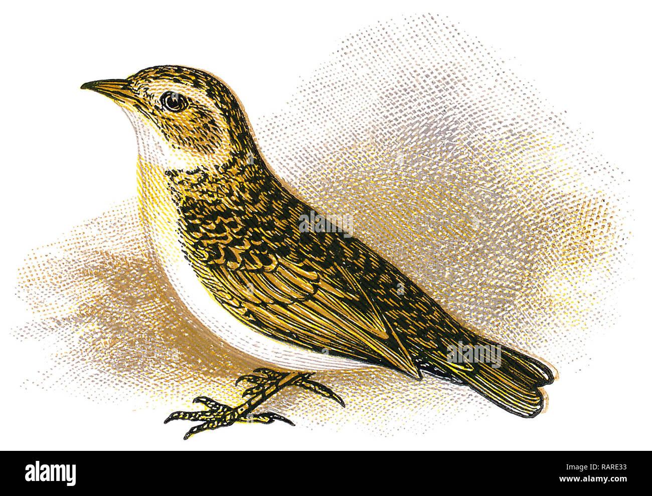 1898 colour engraving of a greater short-toed lark (Calandrella brachydactyla). - Stock Image
