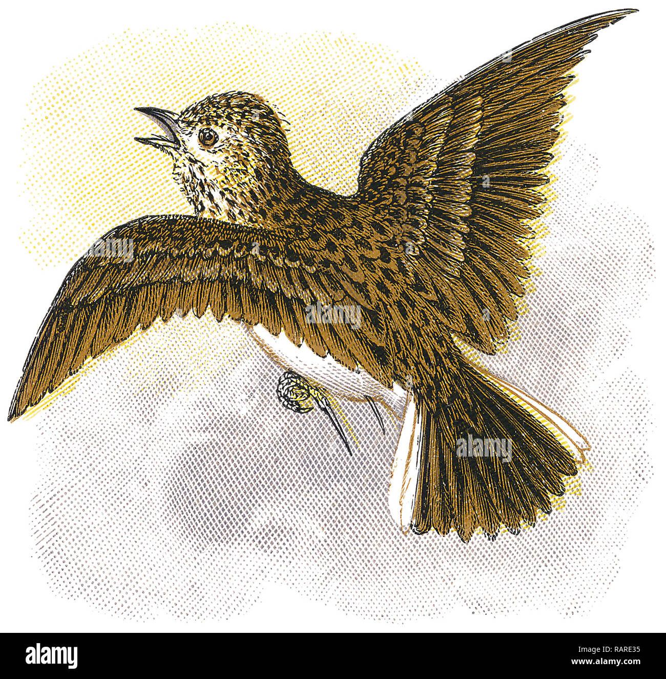 1898 colour engraving of a Eurasian skylark (Alauda arvensis). - Stock Image
