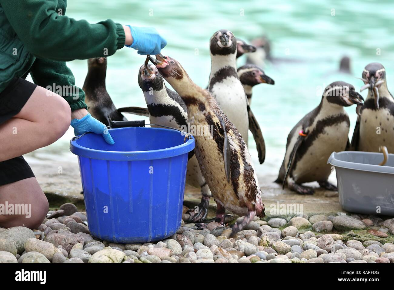 London Zoo animal yearly stock check 3 Jan 2019 ... - Stock Image