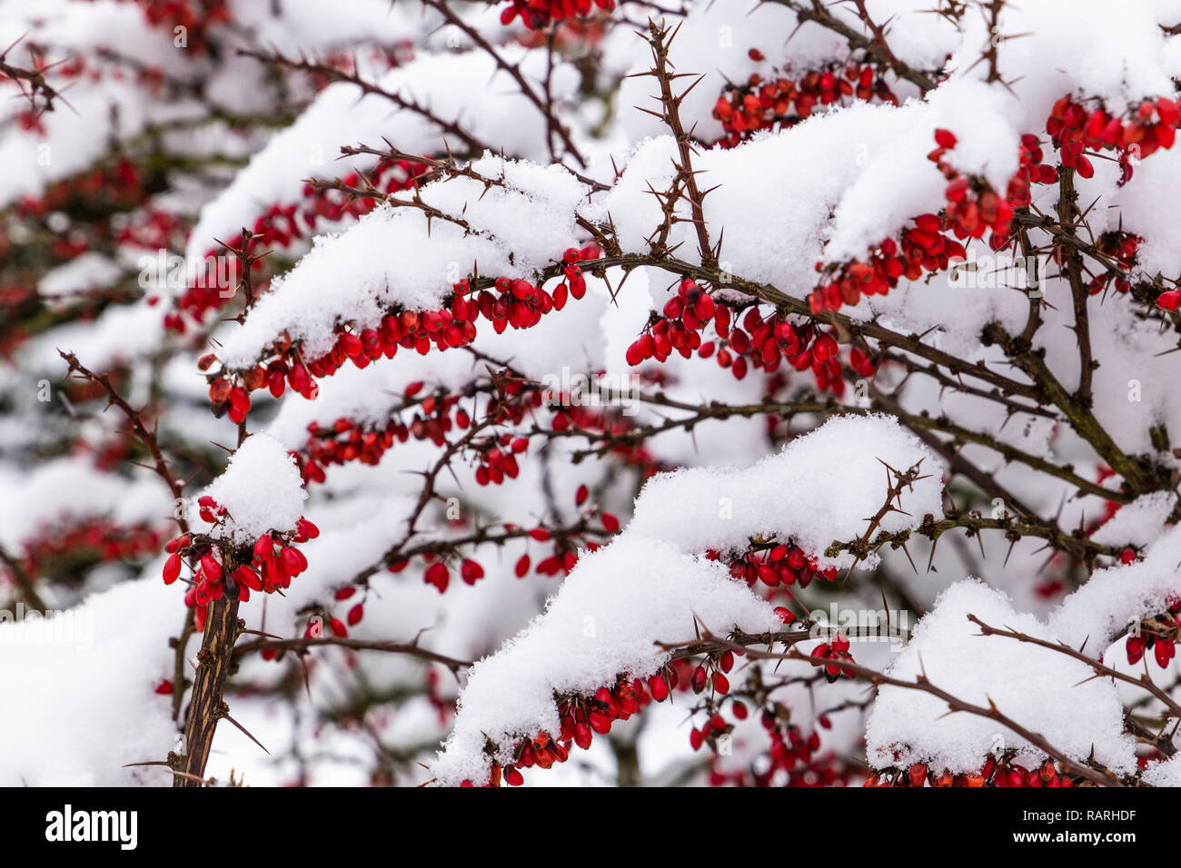 Snowcovered japanese Barberry in Czech village. - Stock Image