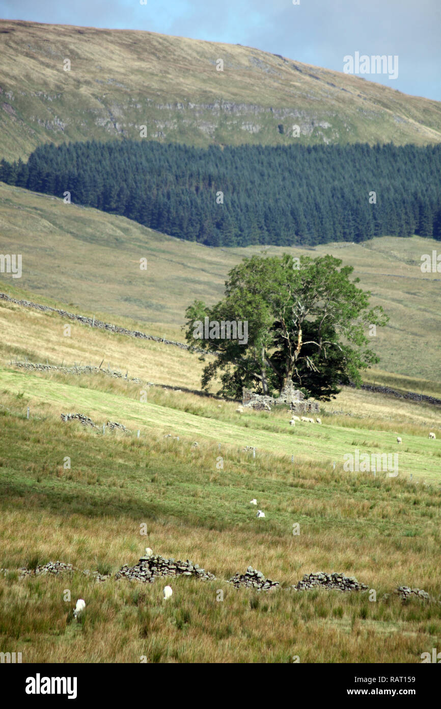 Solitary tree on hillside in Yorkshire Dales on a sunny summer day - Stock Image