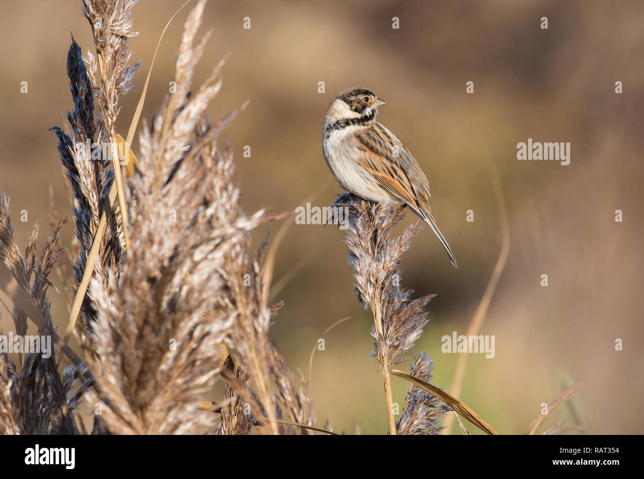 Reed Bunting, male, Rutland Water - Stock Image