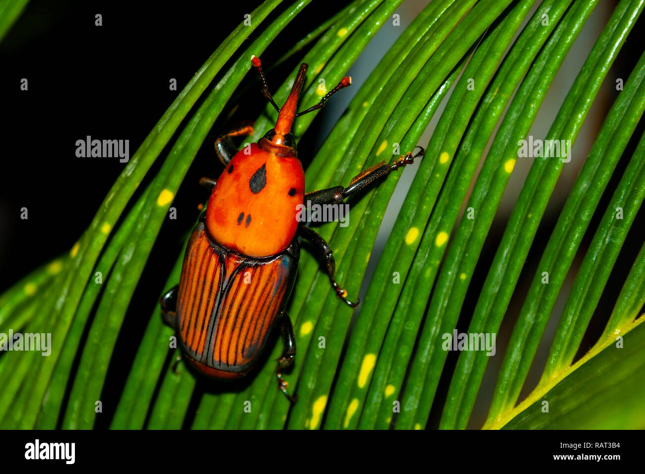 Red awl, taken in the garden, resting on a palm tree, whole - Stock Image